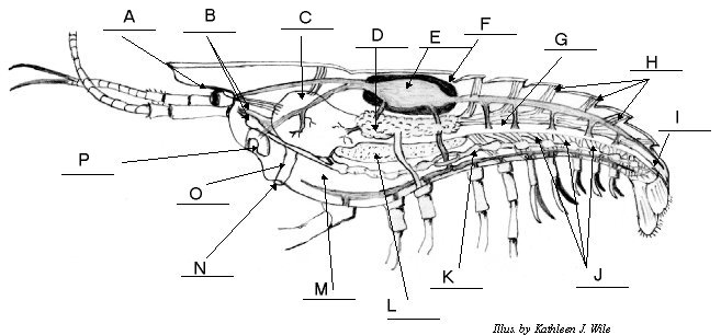 Crayfish Internal Anatomy 90410 Loadtve