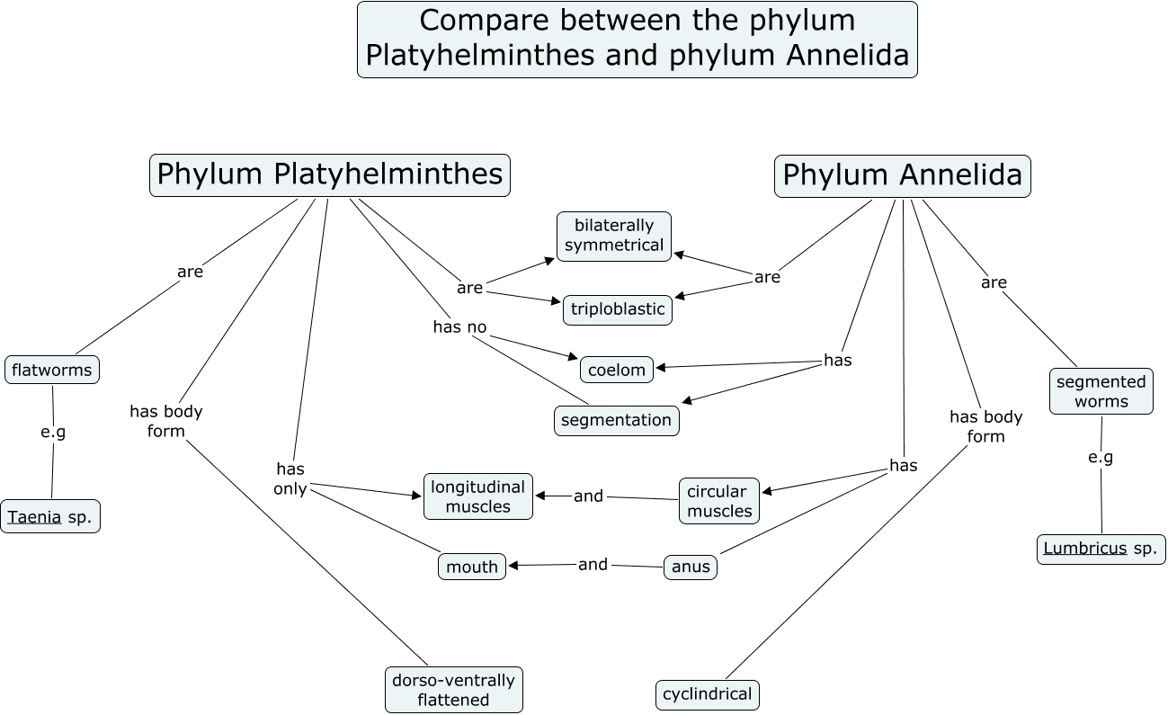 Compare platyhelminthes annelids phylum annelida has circular muscles phylum annelida has body form cyclindrical phylum platyhelminthes are triploblastic phylum platyhelminthes has pooptronica Images