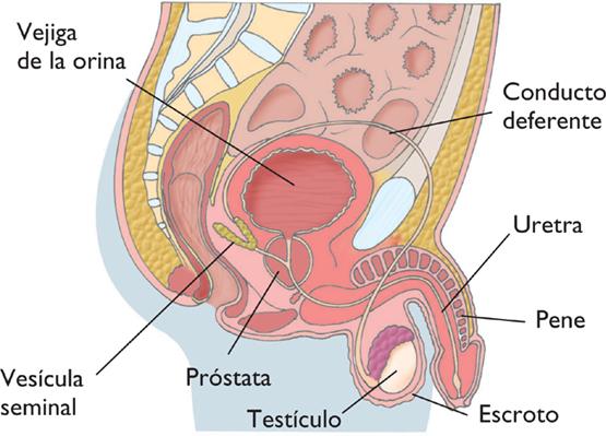 Ciencias Naturales: Actividad 4. Aparato reproductor masculino.