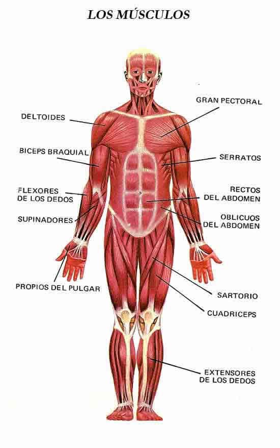 Lujoso Músculos Frontales Del Cuerpo Ornamento - Imágenes de ...