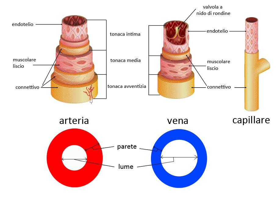 Gemütlich Venen Vs Arterien Galerie - Menschliche Anatomie Bilder ...