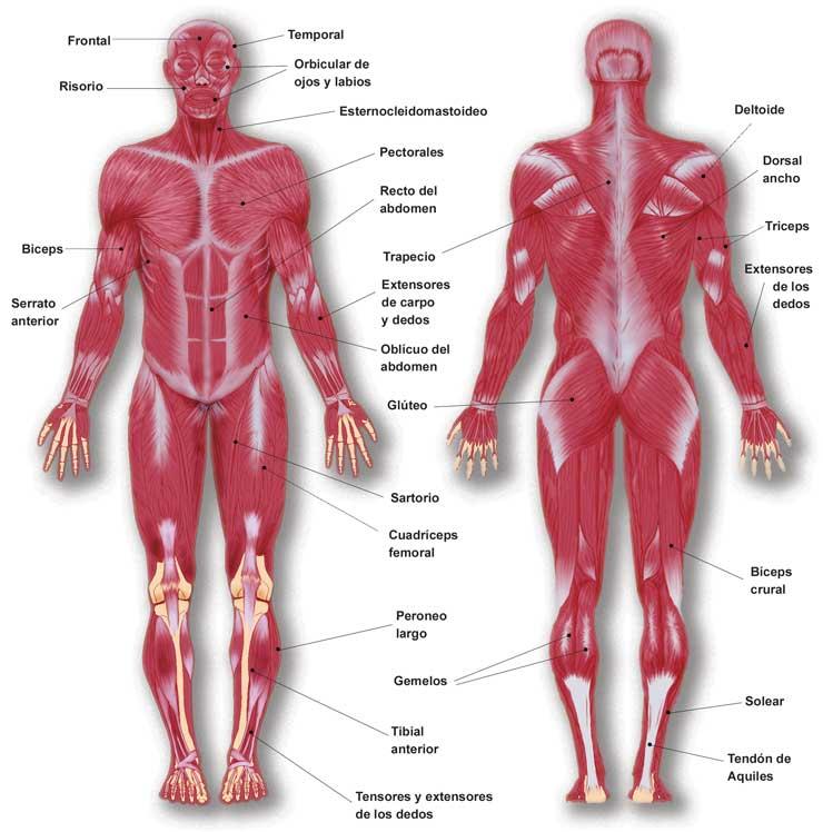 Excepcional Músculos En El Diagrama De Cuerpo Cresta - Imágenes de ...