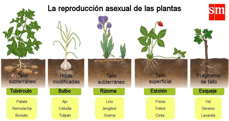 Resultado de imagen de la reproducción asexual de las plantas
