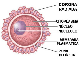 Estructura Del Espermatozoide Y El Ovulo Varias Estructuras