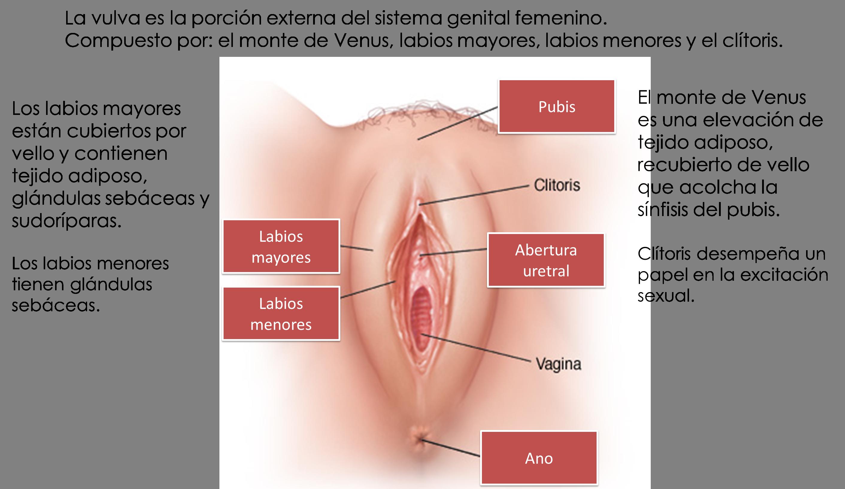 Asombroso Vulva Femenina Humana Adorno - Anatomía de Las Imágenesdel ...
