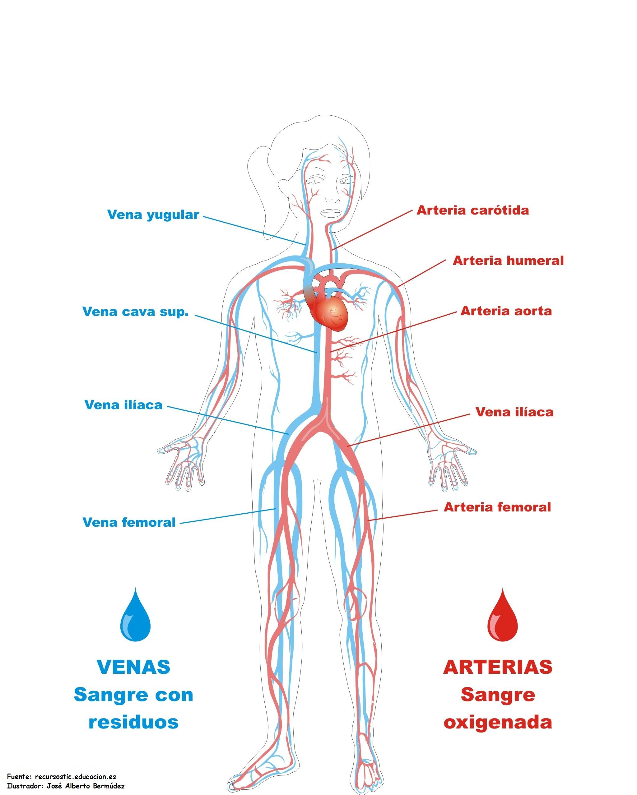 Vistoso Los órganos Del Sistema Esquelético Bosquejo - Imágenes de ...