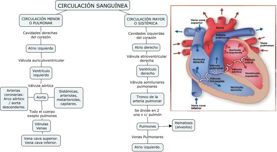 Circulación Sanguínea - Tipos de criculación?