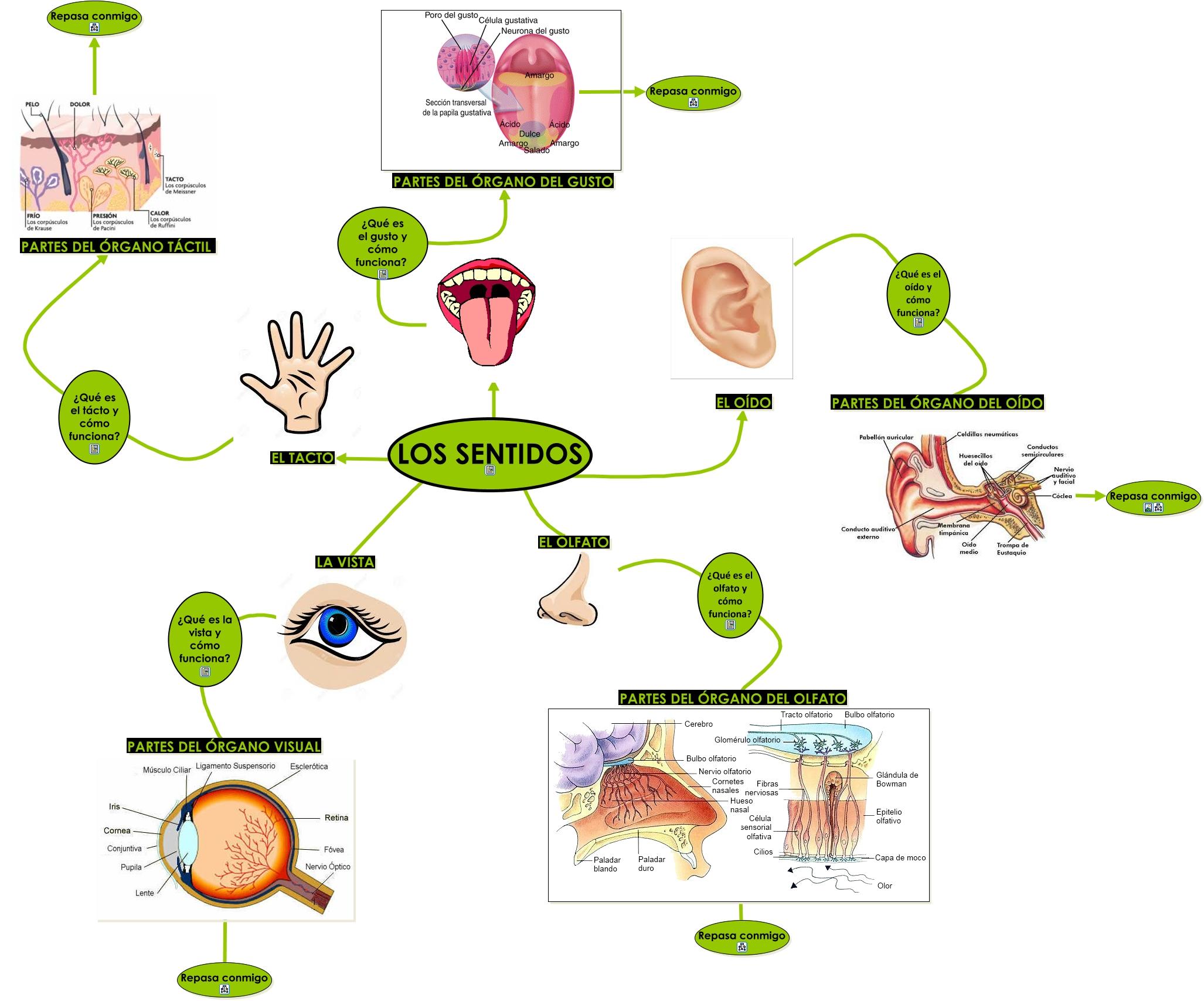 organos de los sentido