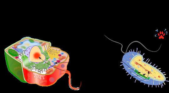 Semejanzas Y Diferencias De Celulas Procariotas Y Eucariotas Esta Diferencia